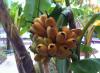 DI_Bananas.png