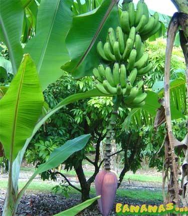 Musa Fhia 17 Bananas Wiki