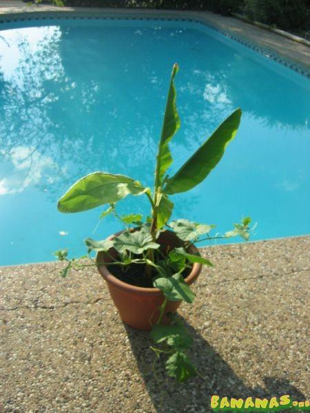 how to grow bananas in pots
