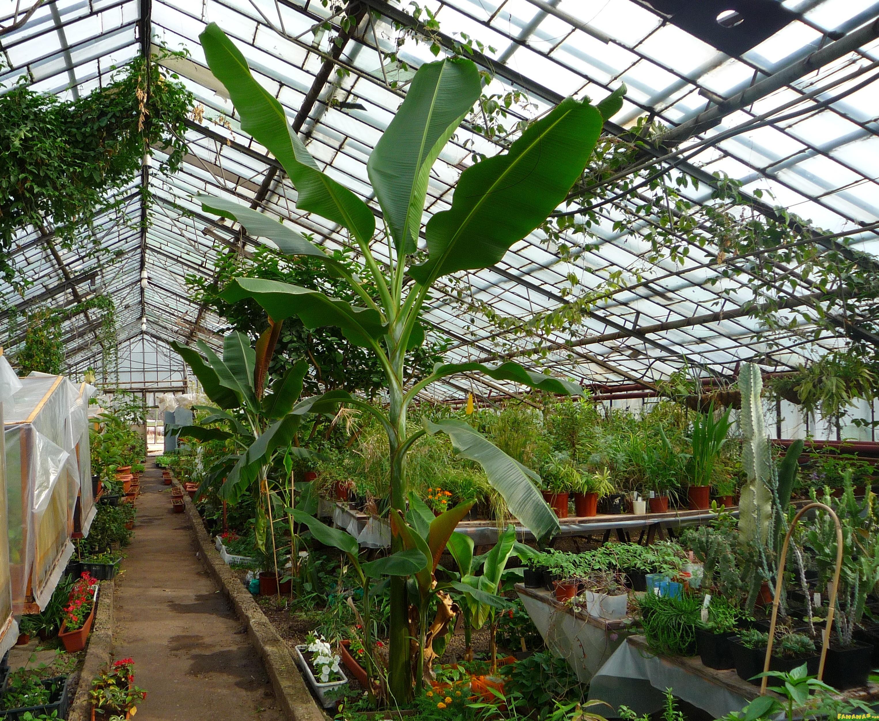Как посадить и вырастить банан в домашних условиях 99