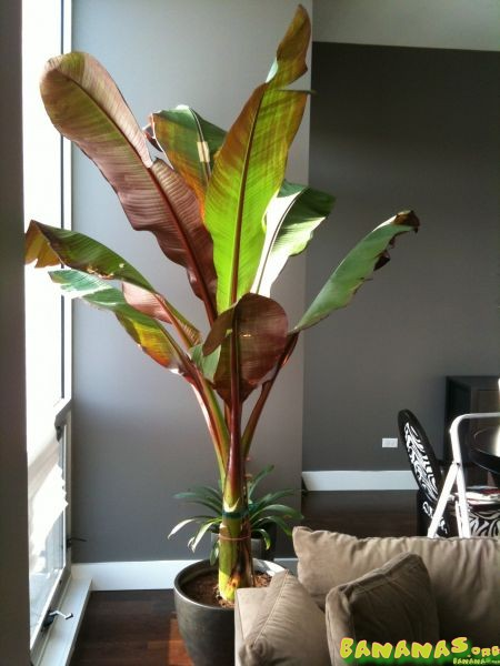 Leaves turning brown and yellow. HELP! thanks. - Bananas.org