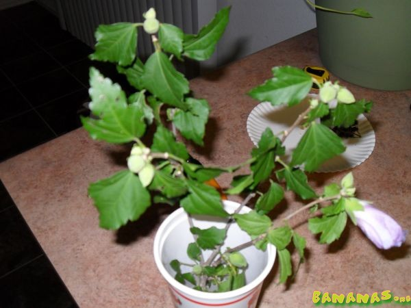 how to start rose of sharon from cuttings