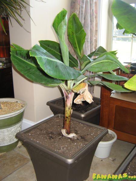 Beginner Banana Plant Photos - Bananas.org