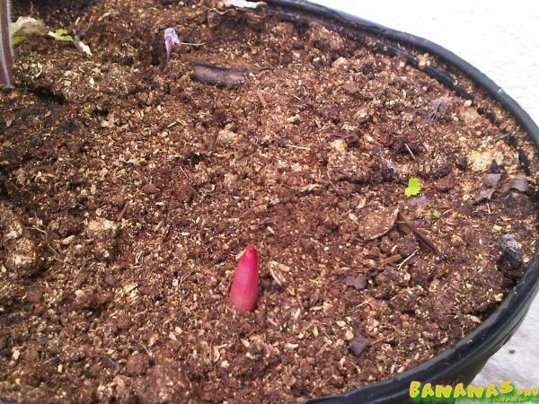 Corm propagation a success - Bananas.org