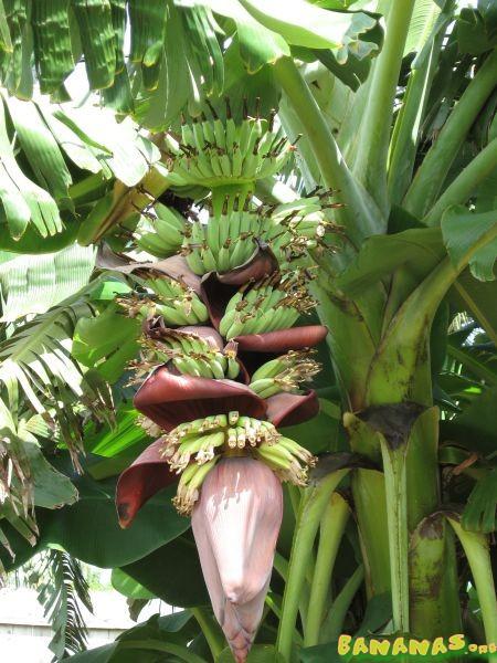 Fhia 2 And Fhia 17 Fhia 23 Bananas Org