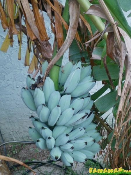 True Blue Java - found a source!